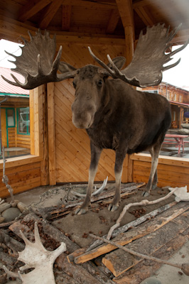 Here's one they got earlier. Why the long face Mr Moose? Perhaps it's because I got shot, stuffed, and now I'm spending the rest of my days in front of this crappy tourist shop.