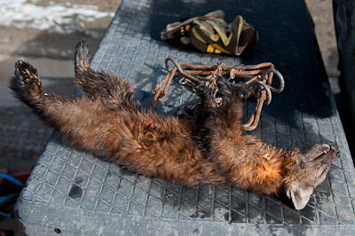 I came across a trapper, who was busy wading in amongst the reeds for beavers. This is a Pine Martin he caught earlier that day.