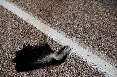 I don't normally take pictures of roadkill, but was struck by the its white stripe and the road markings.