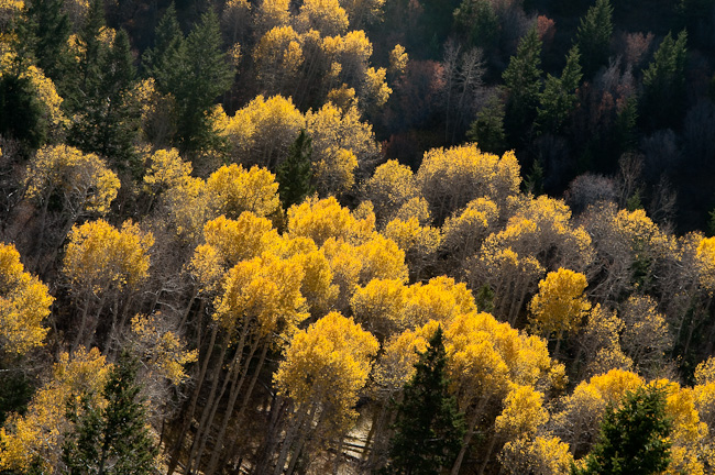 The aspens were turning, a blaze of colour across the hillside. When the wind blow, bright leaves fluttered down to the ground like snowfall.