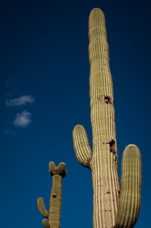 Grow big saguaros.
